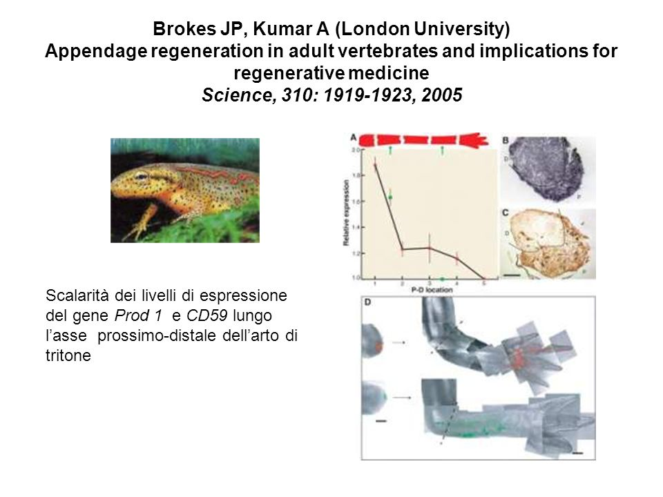 Brokes JP, Kumar A (London University) Appendage regeneration in adult vertebrates and implications for regenerative medicine Science, 310: 1919-1923,