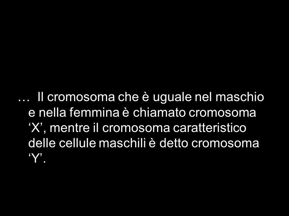 … Il cromosoma che è uguale nel maschio e nella femmina è chiamato cromosoma X, mentre il cromosoma caratteristico delle cellule maschili è detto crom