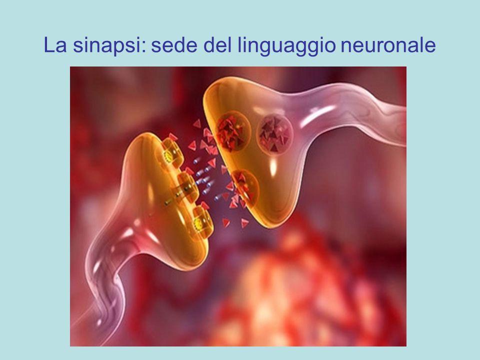 La sinapsi: sede del linguaggio neuronale