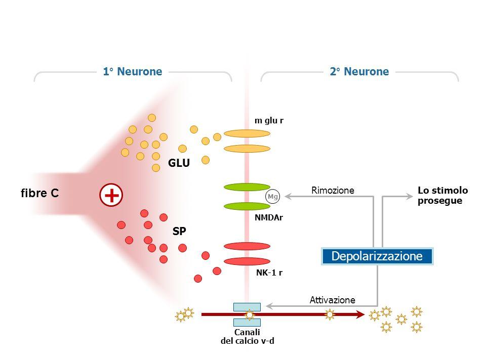 GLU m glu r SP NK-1 r Lo stimolo prosegue Attivazione Canali del calcio v-d NMDAr Mg Rimozione 2° Neurone1° Neurone + Depolarizzazione fibre C