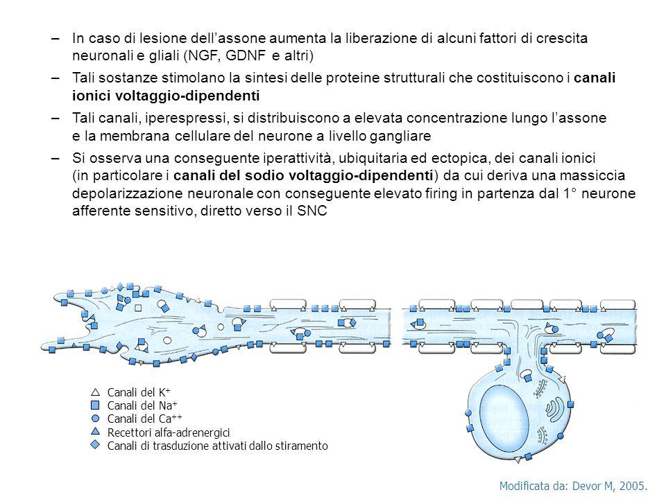 –In caso di lesione dellassone aumenta la liberazione di alcuni fattori di crescita neuronali e gliali (NGF, GDNF e altri) –Tali sostanze stimolano la sintesi delle proteine strutturali che costituiscono i canali ionici voltaggio-dipendenti –Tali canali, iperespressi, si distribuiscono a elevata concentrazione lungo lassone e la membrana cellulare del neurone a livello gangliare –Si osserva una conseguente iperattività, ubiquitaria ed ectopica, dei canali ionici (in particolare i canali del sodio voltaggio-dipendenti) da cui deriva una massiccia depolarizzazione neuronale con conseguente elevato firing in partenza dal 1° neurone afferente sensitivo, diretto verso il SNC Modificata da: Devor M, 2005.