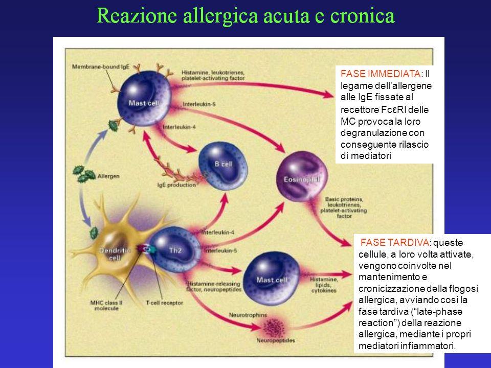FASE IMMEDIATA: Il legame dellallergene alle IgE fissate al recettore Fc ε RI delle MC provoca la loro degranulazione con conseguente rilascio di medi
