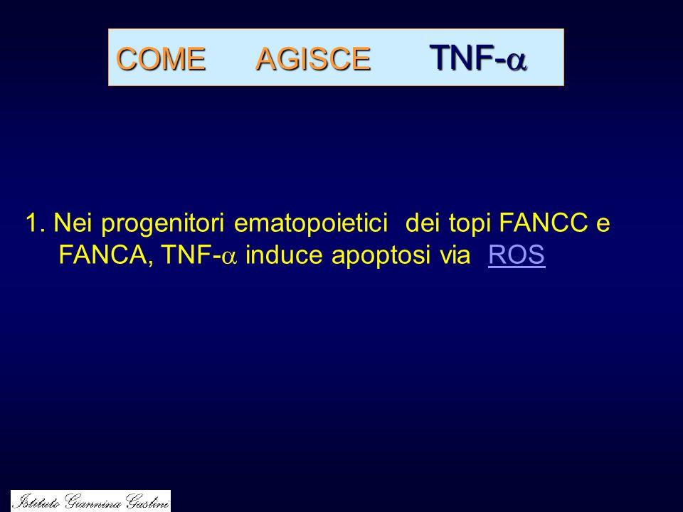 COME AGISCE TNF- COME AGISCE TNF- 1. Nei progenitori ematopoietici dei topi FANCC e FANCA, TNF- induce apoptosi via ROSROS