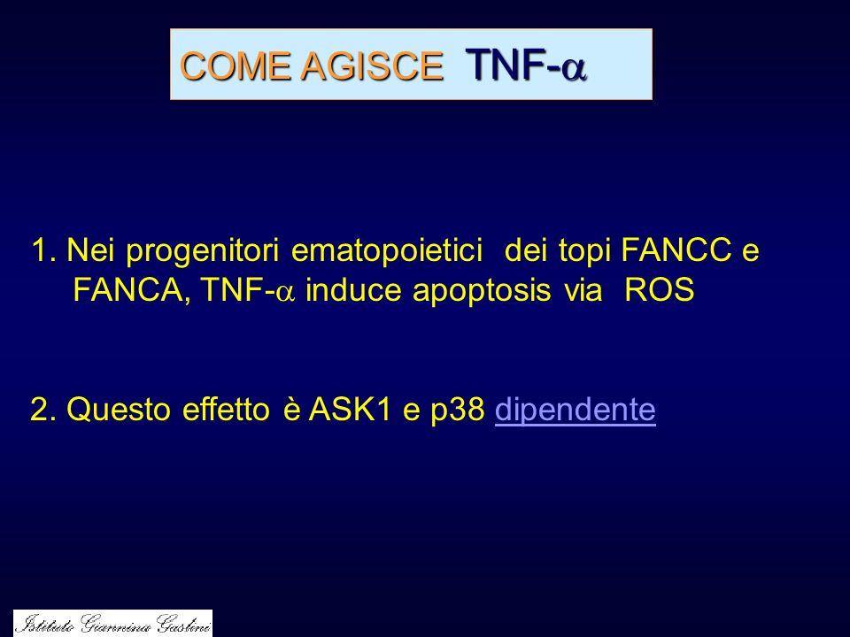 COME AGISCE TNF- COME AGISCE TNF- 1. Nei progenitori ematopoietici dei topi FANCC e FANCA, TNF- induce apoptosis via ROS 2. Questo effetto è ASK1 e p3