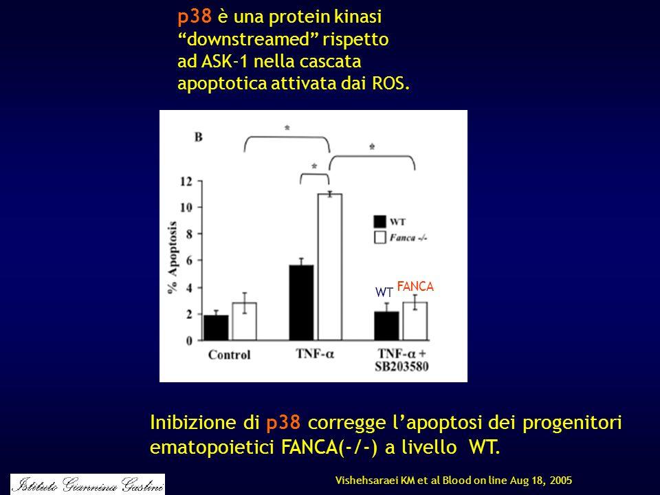 p38 è una protein kinasi downstreamed rispetto ad ASK-1 nella cascata apoptotica attivata dai ROS. Vishehsaraei KM et al Blood on line Aug 18, 2005 In