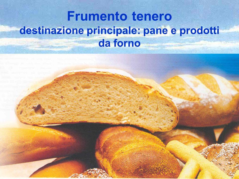 Frumento tenero destinazione principale: pane e prodotti da forno