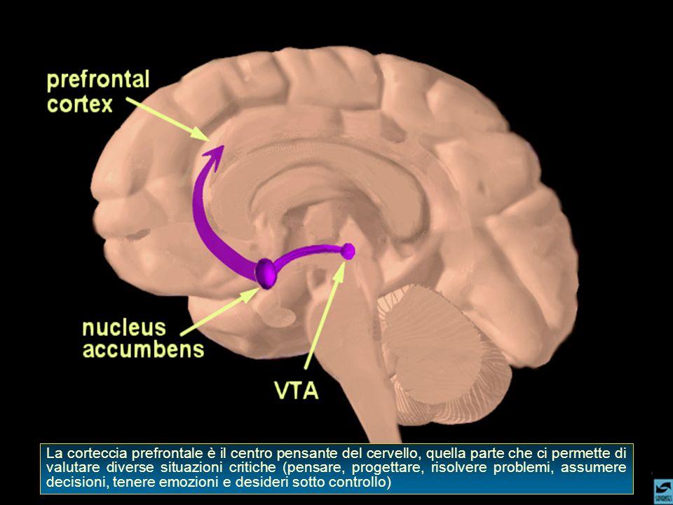La corteccia prefrontale è il centro pensante del cervello, quella parte che ci permette di valutare diverse situazioni critiche (pensare, progettare,