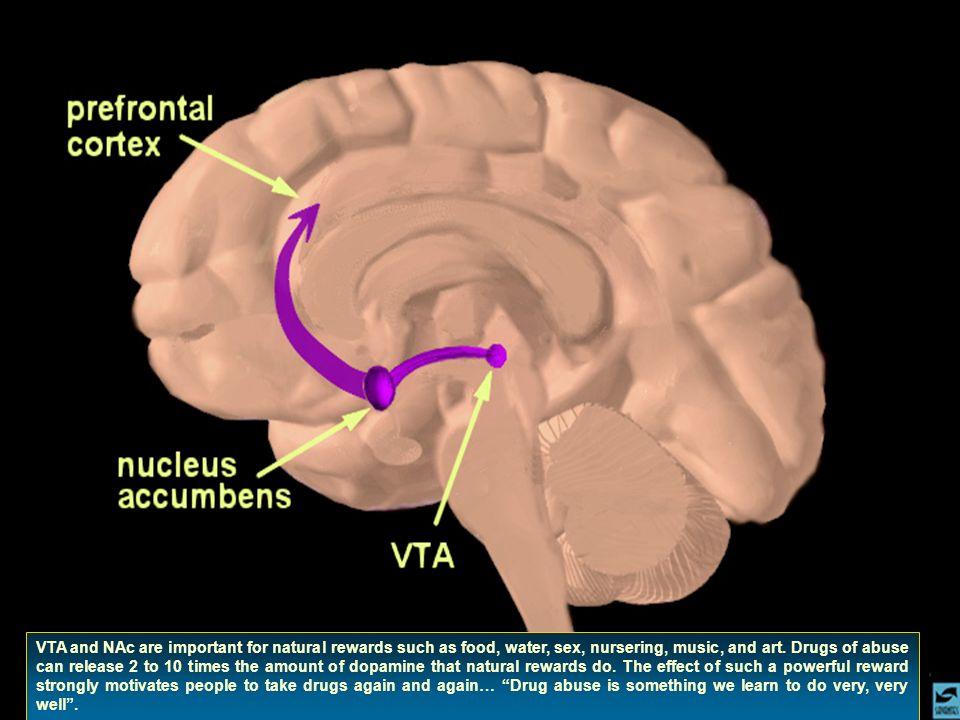 LAmigdala e lIppocampo rappresentano i substrati neuro- anatomici per il consolidamento della memoria emotiva che associa la droga e il suo ambiente al piacere.