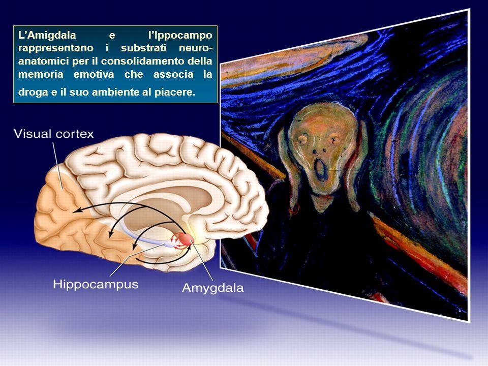 LAmigdala e lIppocampo rappresentano i substrati neuro- anatomici per il consolidamento della memoria emotiva che associa la droga e il suo ambiente a