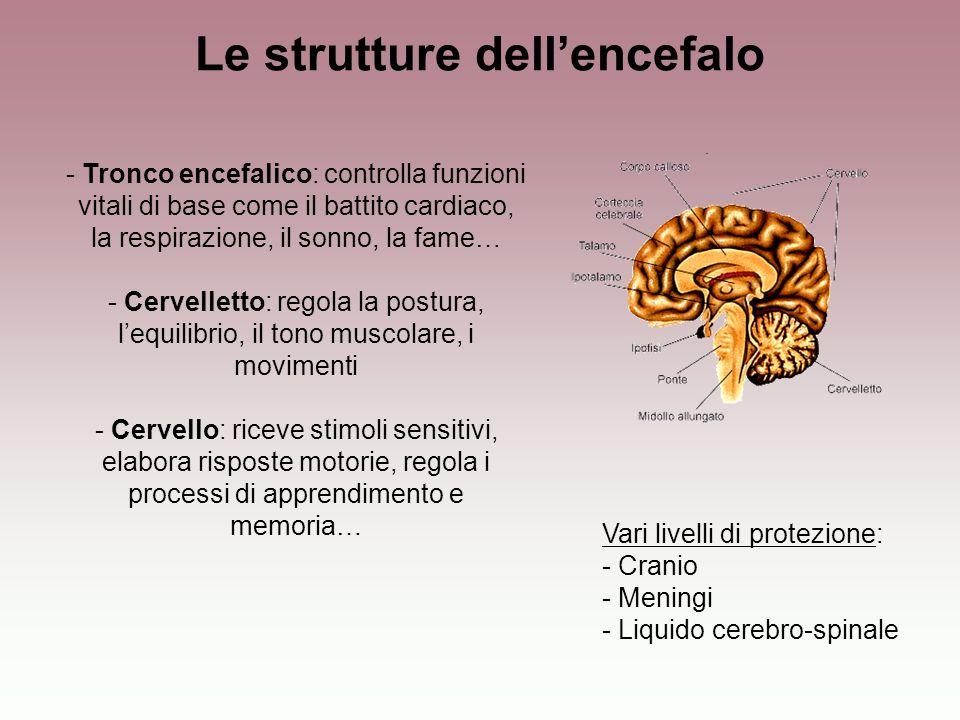 Le strutture dellencefalo Vari livelli di protezione: - Cranio - Meningi - Liquido cerebro-spinale - Tronco encefalico: controlla funzioni vitali di b