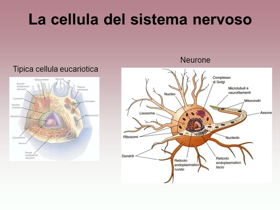 La cellula del sistema nervoso Tipica cellula eucariotica Neurone
