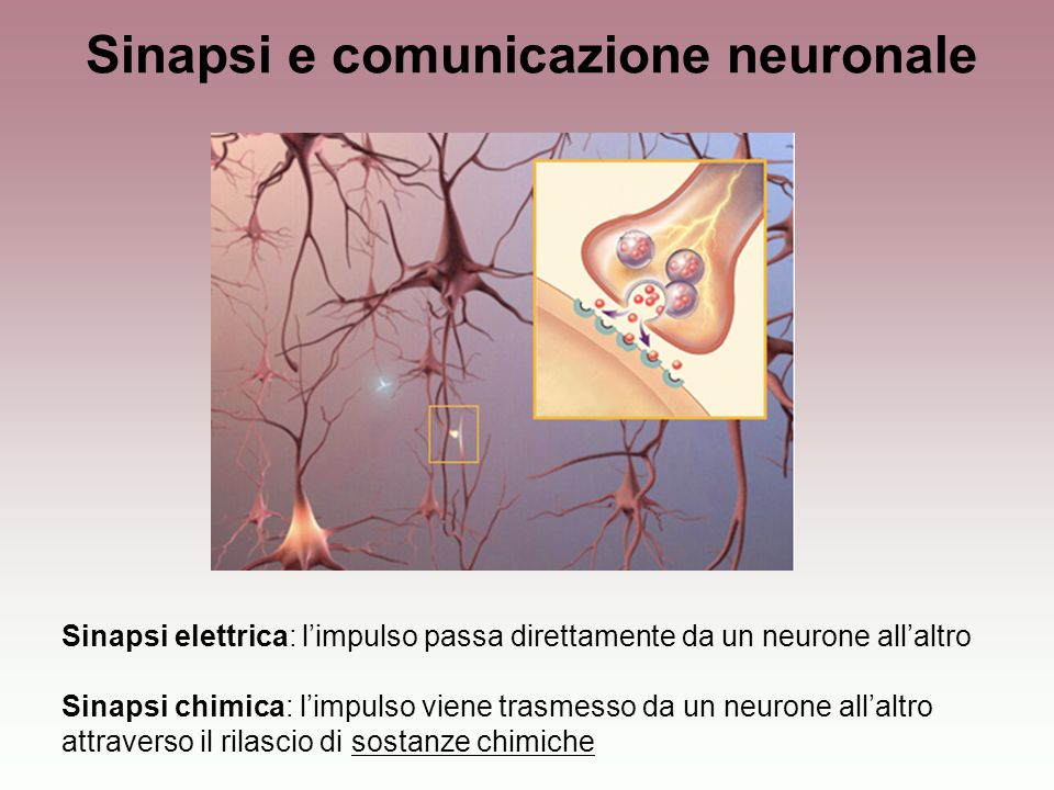 Sinapsi e comunicazione neuronale Sinapsi elettrica: limpulso passa direttamente da un neurone allaltro Sinapsi chimica: limpulso viene trasmesso da u