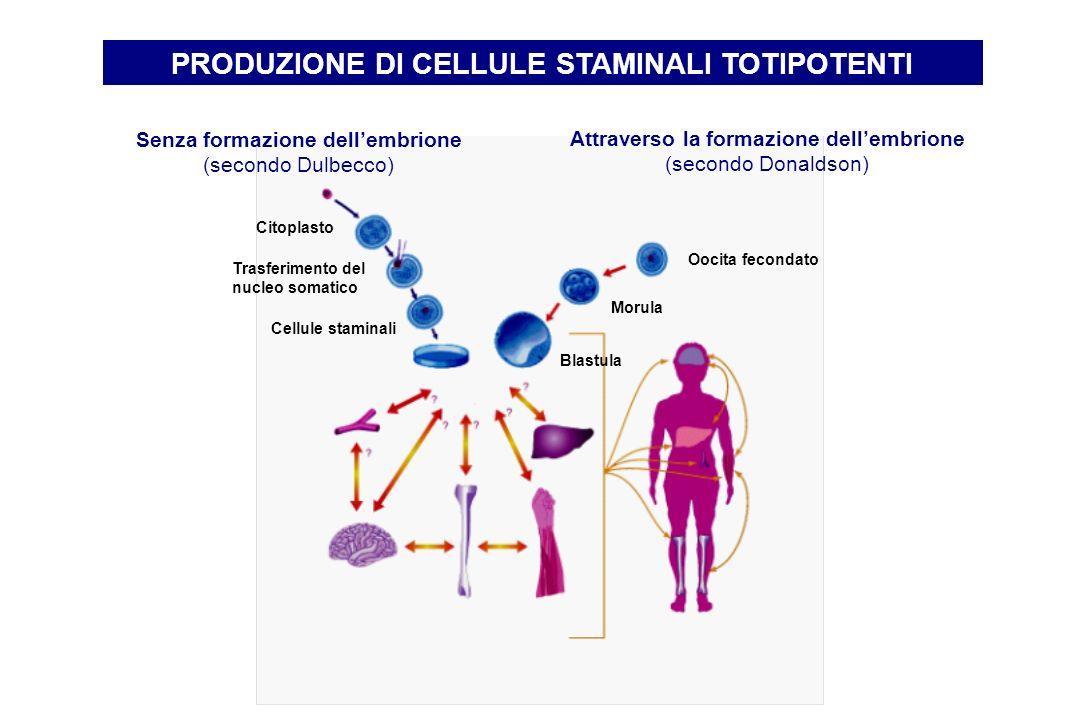 PRODUZIONE DI CELLULE STAMINALI TOTIPOTENTI Senza formazione dellembrione (secondo Dulbecco) Attraverso la formazione dellembrione (secondo Donaldson)