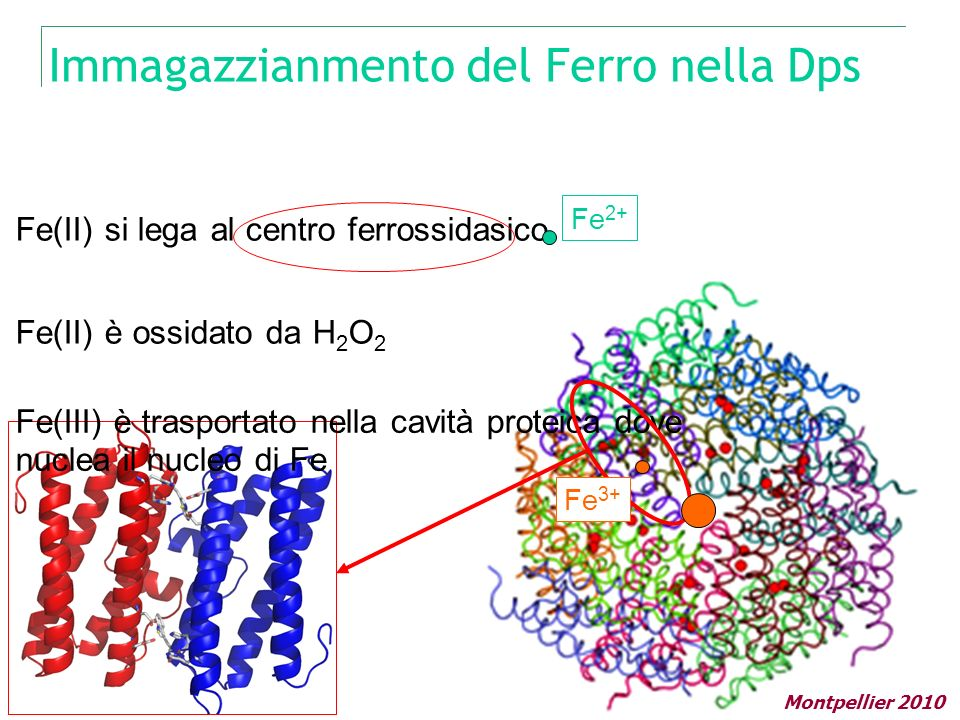 Immagazzianmento del Ferro nella Dps Fe(II) si lega al centro ferrossidasico Fe(II) è ossidato da H 2 O 2 Fe(III) è trasportato nella cavità proteica