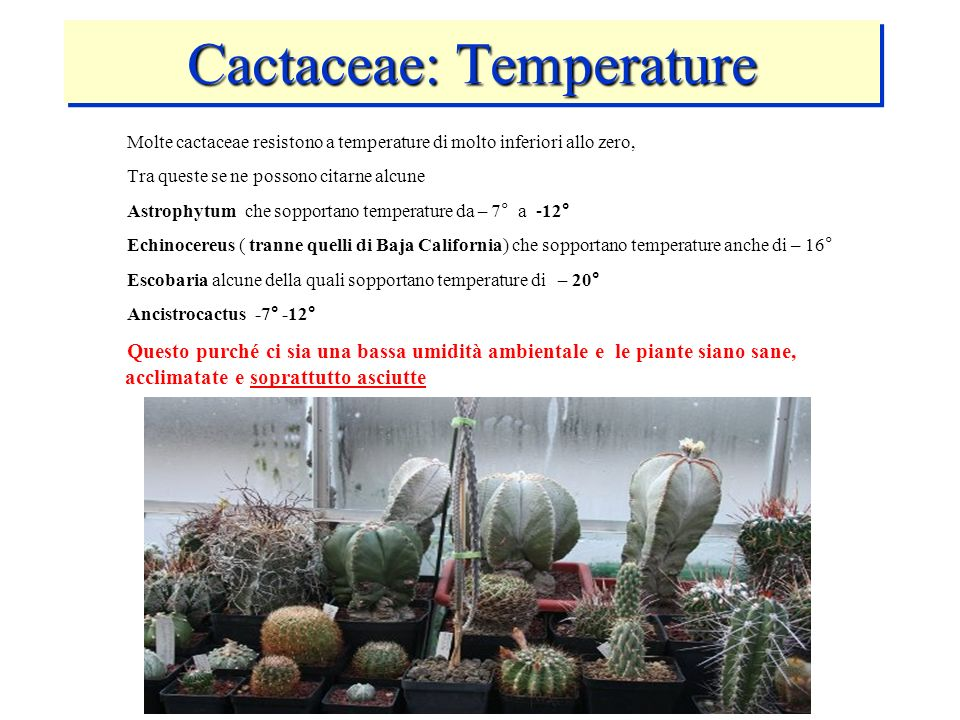 Cactaceae: Temperature Molte cactaceae resistono a temperature di molto inferiori allo zero, Tra queste se ne possono citarne alcune Astrophytum che s