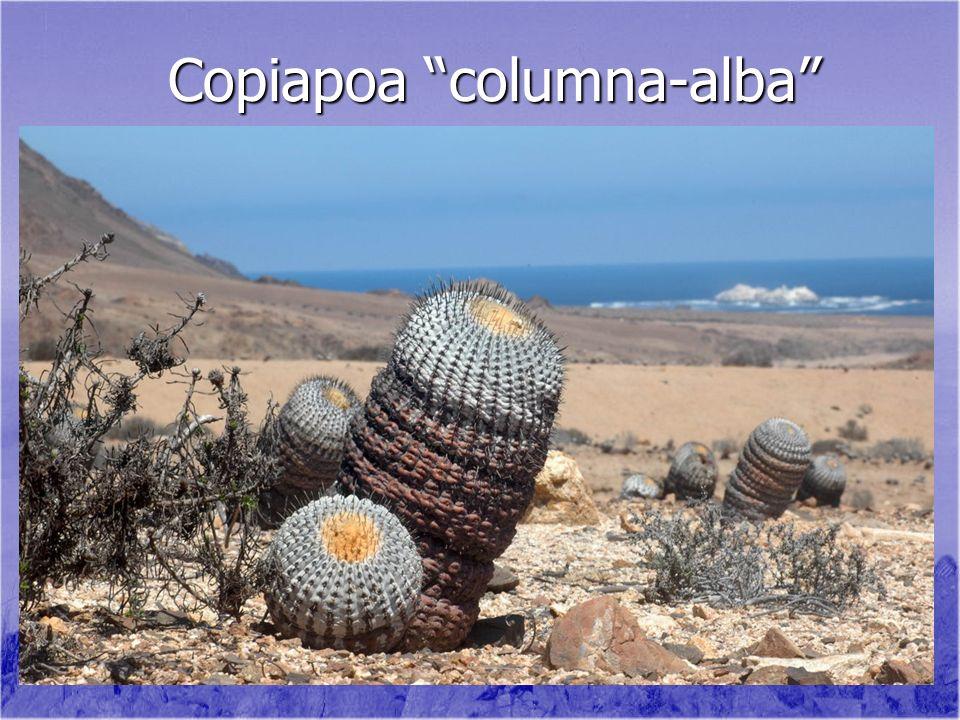 Copiapoa columna-alba Copiapoa columna-alba