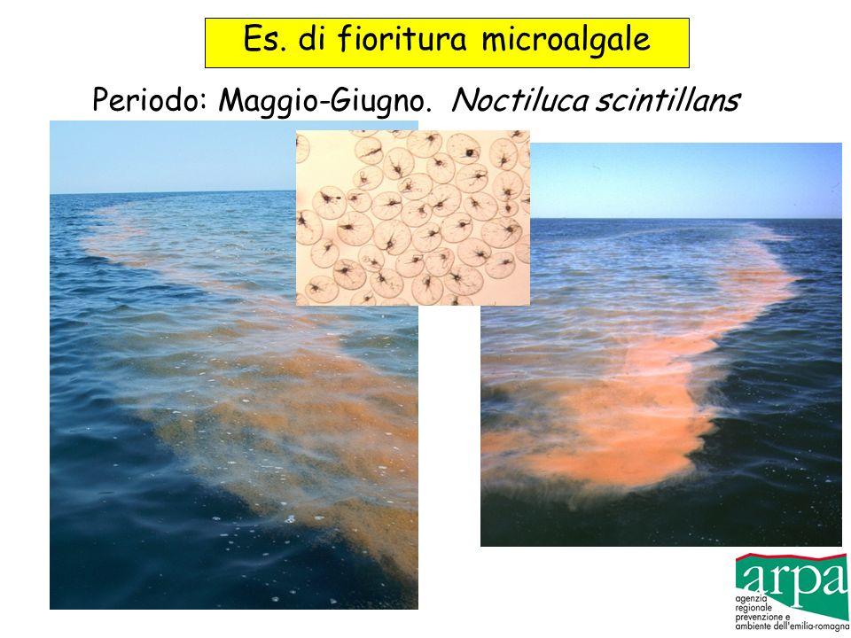 Es. di fioritura microalgale Periodo: Maggio-Giugno.Noctiluca scintillans