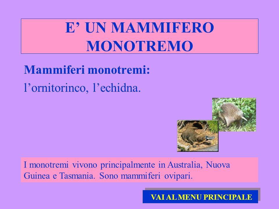 E UN MAMMIFERO MONOTREMO Mammiferi monotremi: lornitorinco, lechidna. I monotremi vivono principalmente in Australia, Nuova Guinea e Tasmania. Sono ma