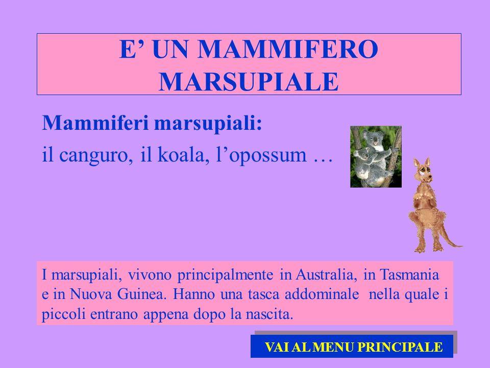E UN MAMMIFERO MARSUPIALE Mammiferi marsupiali: il canguro, il koala, lopossum … I marsupiali, vivono principalmente in Australia, in Tasmania e in Nu