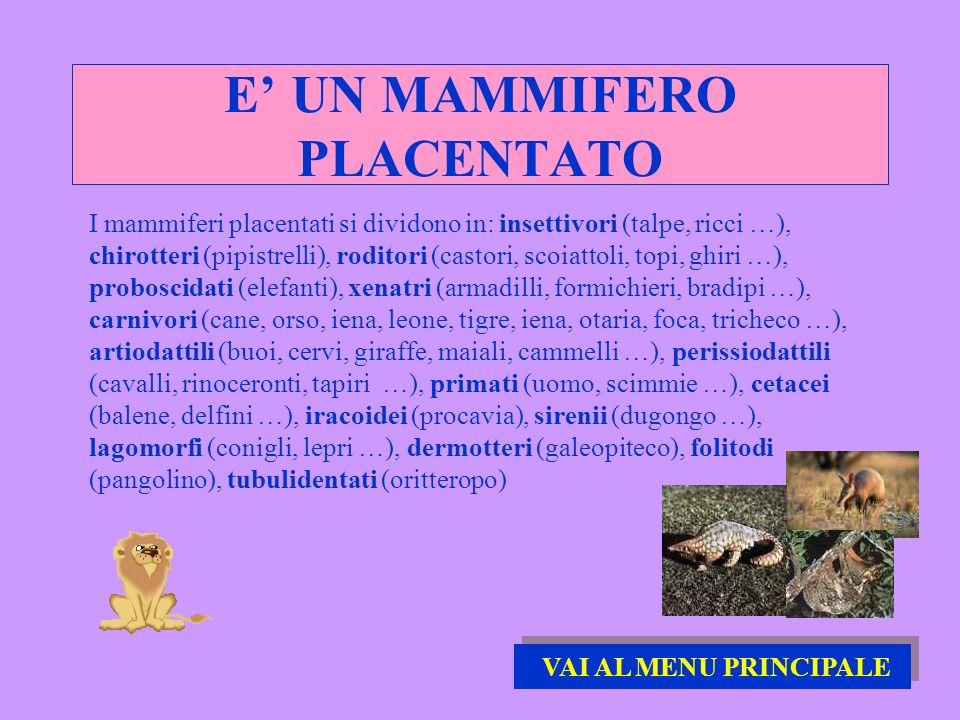 E UN MAMMIFERO PLACENTATO I mammiferi placentati si dividono in: insettivori (talpe, ricci …), chirotteri (pipistrelli), roditori (castori, scoiattoli