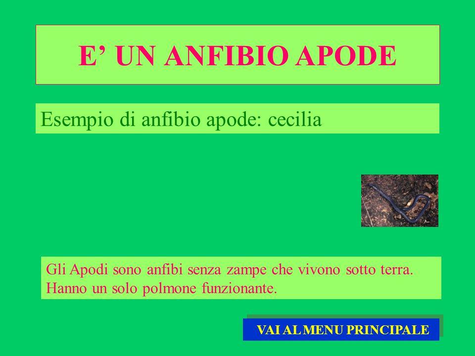E UN ANFIBIO APODE Gli Apodi sono anfibi senza zampe che vivono sotto terra. Hanno un solo polmone funzionante. Esempio di anfibio apode: cecilia VAI