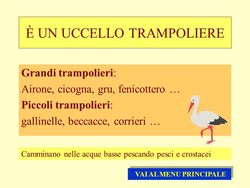 È UN UCCELLO TRAMPOLIERE Grandi trampolieri: Airone, cicogna, gru, fenicottero … Piccoli trampolieri: gallinelle, beccacce, corrieri … Camminano nelle