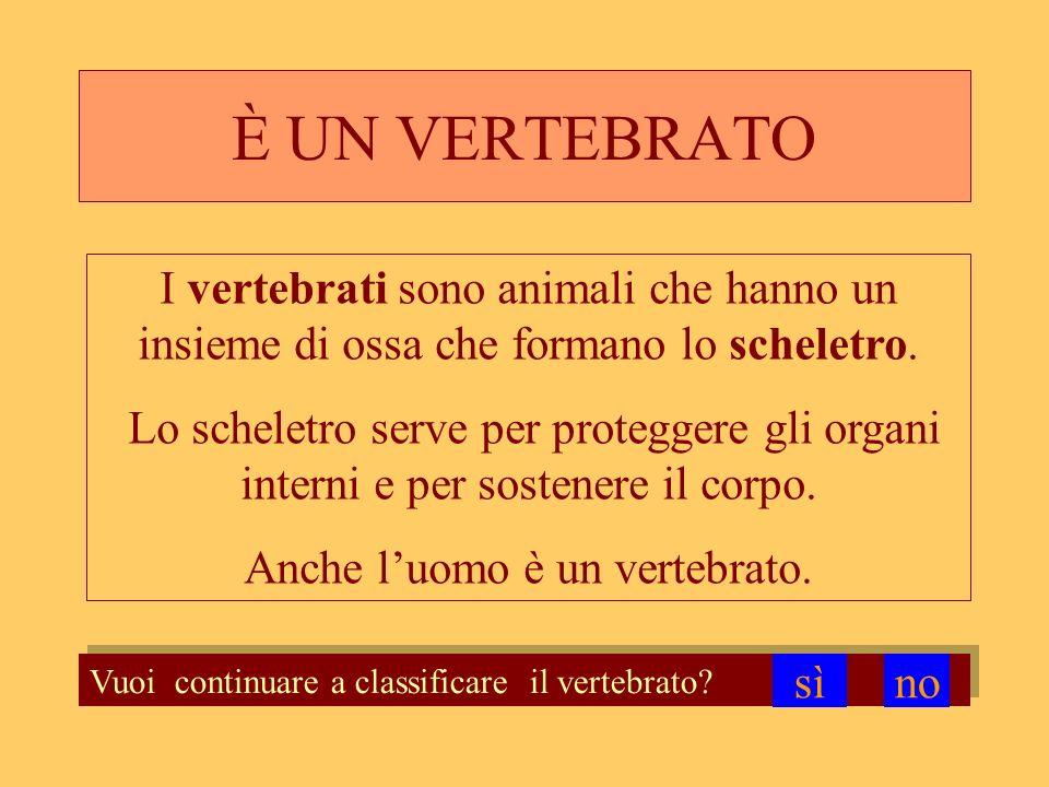 È UN VERTEBRATO Vuoi continuare a classificare il vertebrato? I vertebrati sono animali che hanno un insieme di ossa che formano lo scheletro. Lo sche