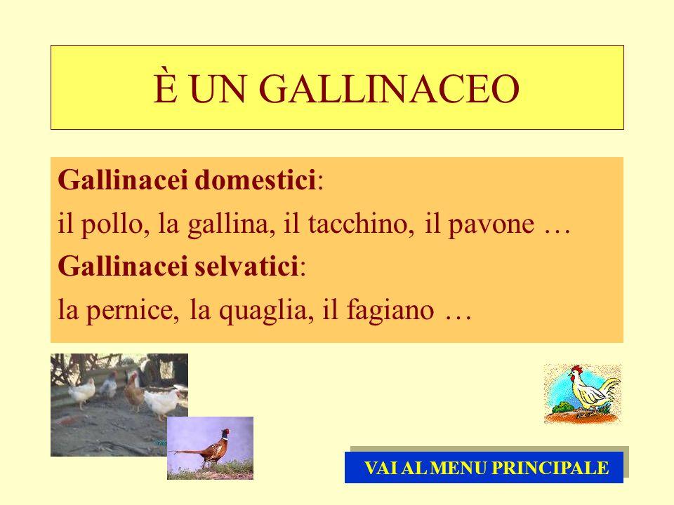 È UN GALLINACEO Gallinacei domestici: il pollo, la gallina, il tacchino, il pavone … Gallinacei selvatici: la pernice, la quaglia, il fagiano … VAI AL