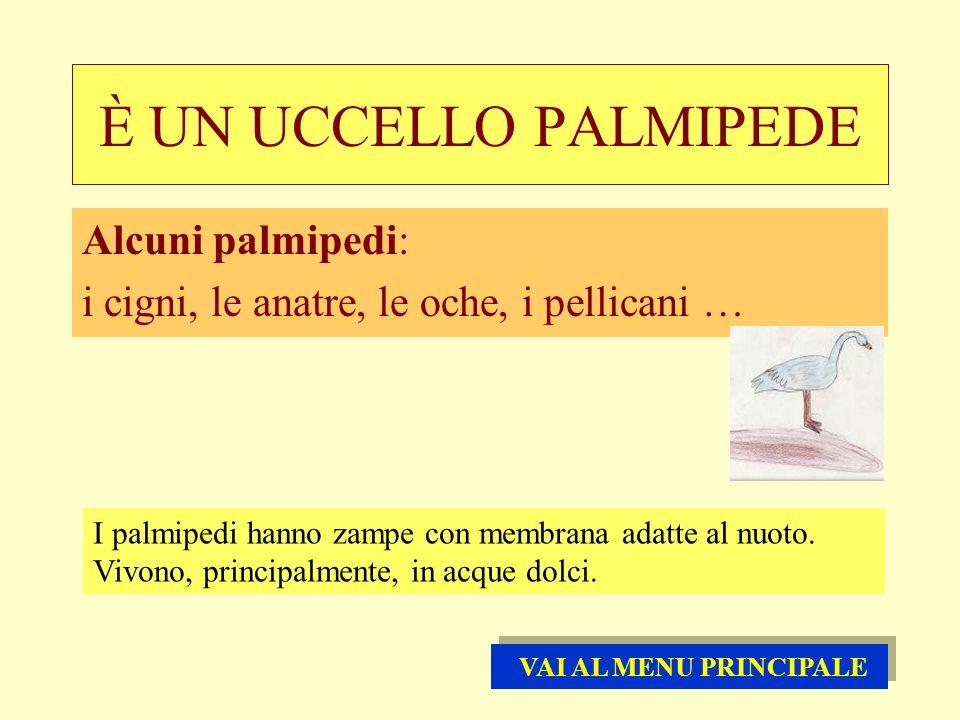 È UN UCCELLO PALMIPEDE Alcuni palmipedi: i cigni, le anatre, le oche, i pellicani … I palmipedi hanno zampe con membrana adatte al nuoto. Vivono, prin