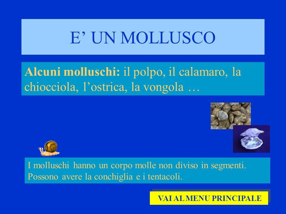 E UN MOLLUSCO Alcuni molluschi: il polpo, il calamaro, la chiocciola, lostrica, la vongola … I molluschi hanno un corpo molle non diviso in segmenti.