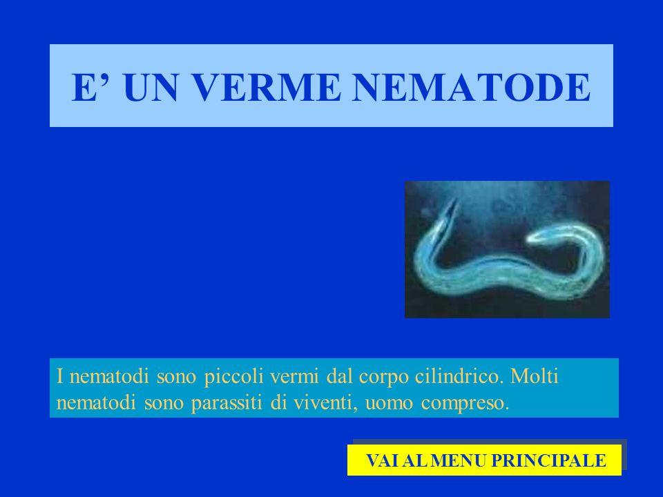 E UN VERME NEMATODE I nematodi sono piccoli vermi dal corpo cilindrico. Molti nematodi sono parassiti di viventi, uomo compreso. VAI AL MENU PRINCIPAL