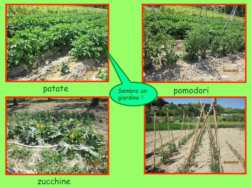 pomodori patate zucchine Sembra un giardino !