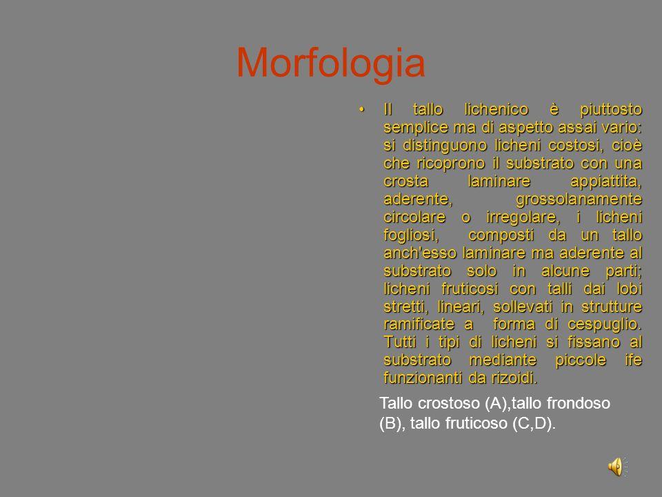 Morfologia Il tallo lichenico è piuttosto semplice ma di aspetto assai vario: si distinguono licheni costosi, cioè che ricoprono il substrato con una crosta laminare appiattita, aderente, grossolanamente circolare o irregolare, i licheni fogliosi, composti da un tallo anch esso laminare ma aderente al substrato solo in alcune parti; licheni fruticosi con talli dai lobi stretti, lineari, sollevati in strutture ramificate a forma di cespuglio.