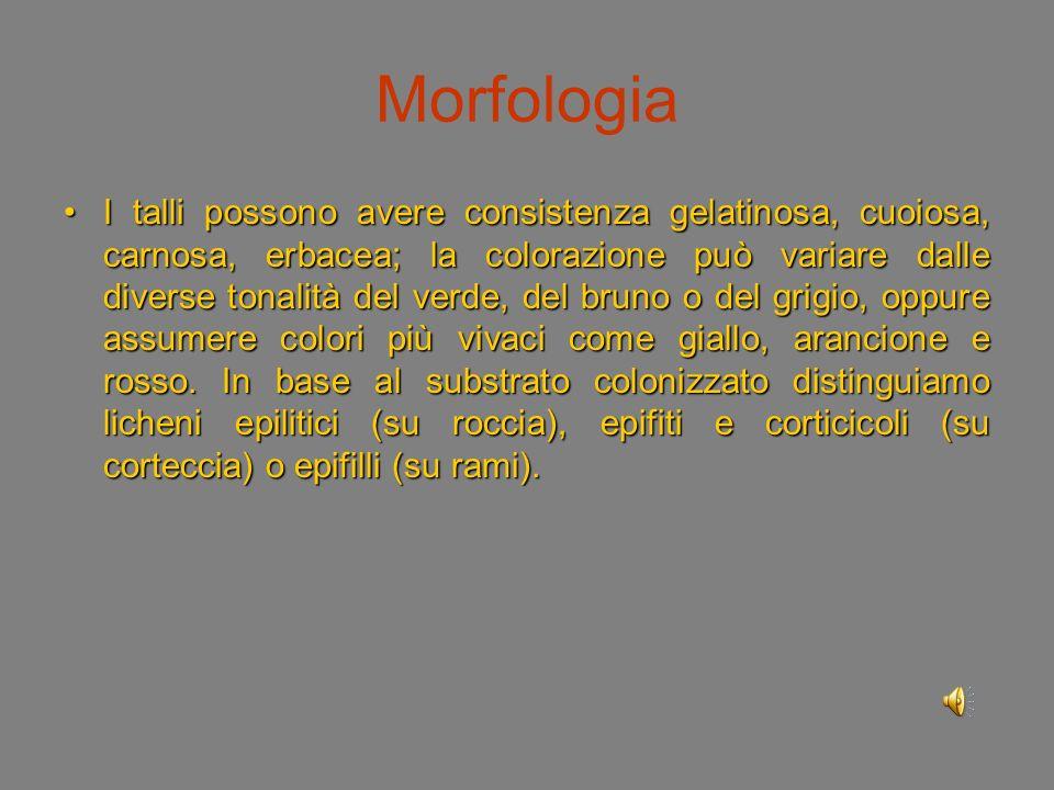 Morfologia Il tallo lichenico è piuttosto semplice ma di aspetto assai vario: si distinguono licheni costosi, cioè che ricoprono il substrato con una