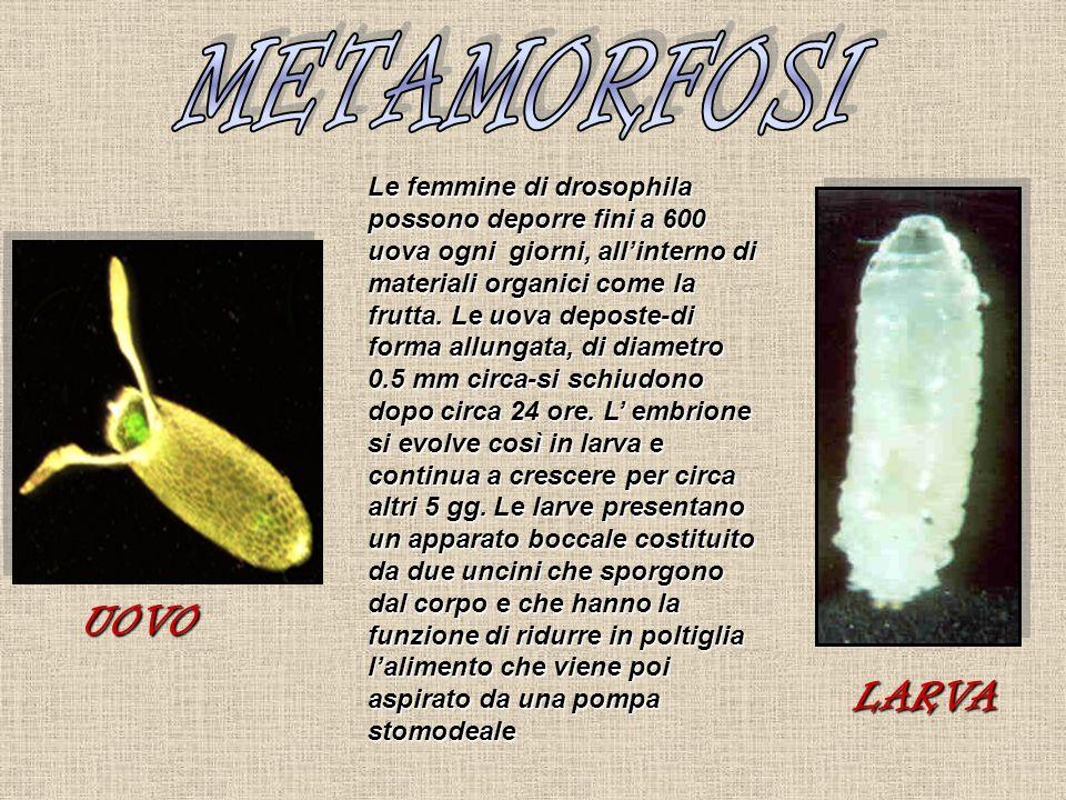 Le femmine di drosophila possono deporre fini a 600 uova ogni giorni, allinterno di materiali organici come la frutta. Le uova deposte-di forma allung