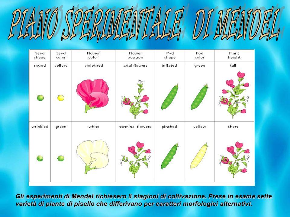 Gli esperimenti di Mendel richiesero 8 stagioni di coltivazione. Prese in esame sette varietà di piante di pisello che differivano per caratteri morfo