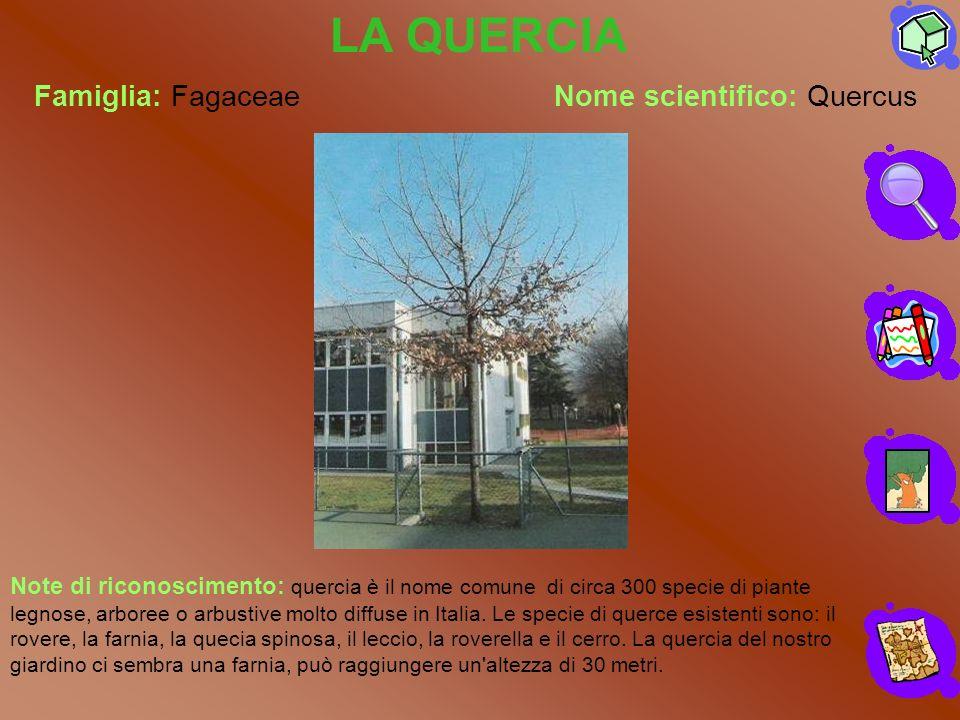 Famiglia: FagaceaeNome scientifico: Quercus LA QUERCIA Note di riconoscimento: quercia è il nome comune di circa 300 specie di piante legnose, arboree