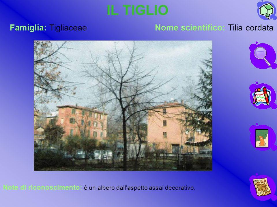 Famiglia: TigliaceaeNome scientifico: Tilia cordata IL TIGLIO Note di riconoscimento: è un albero dall'aspetto assai decorativo.