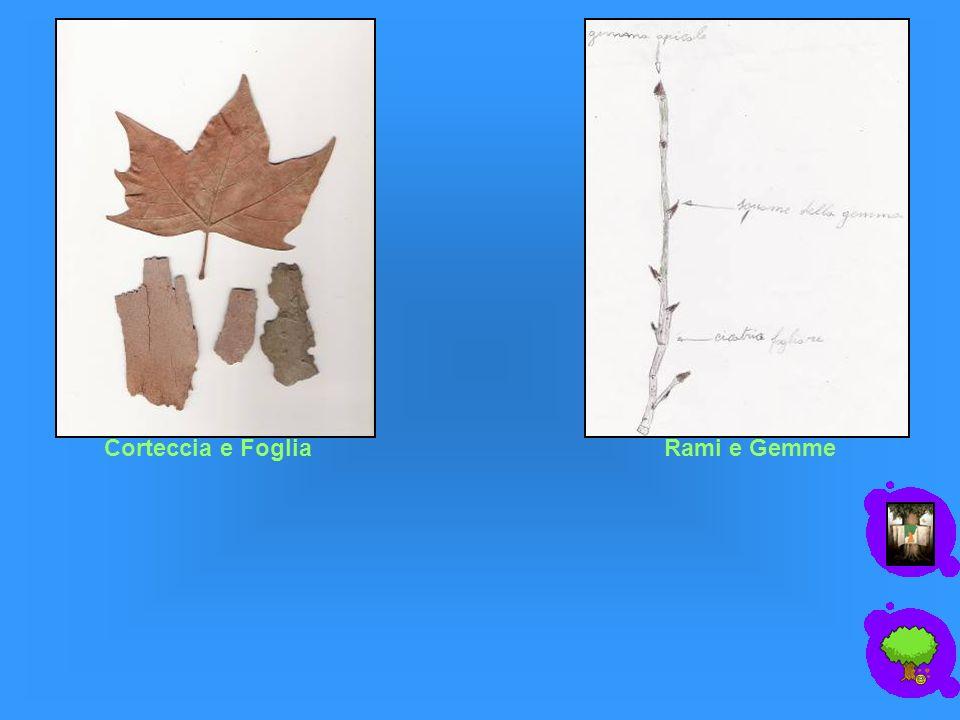 Corteccia e FogliaRami e Gemme