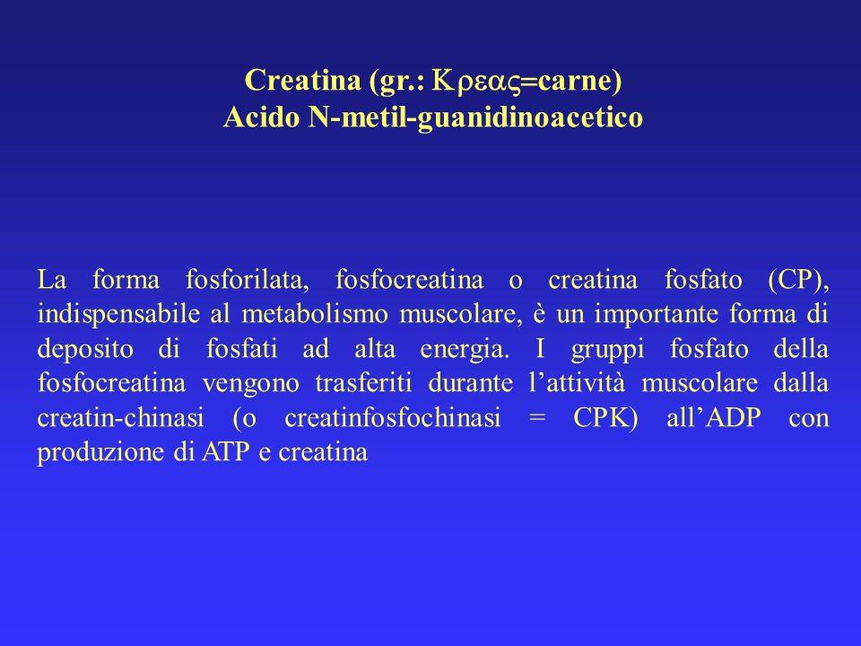 Creatina (gr.: carne) Acido N-metil-guanidinoacetico La forma fosforilata, fosfocreatina o creatina fosfato (CP), indispensabile al metabolismo muscol