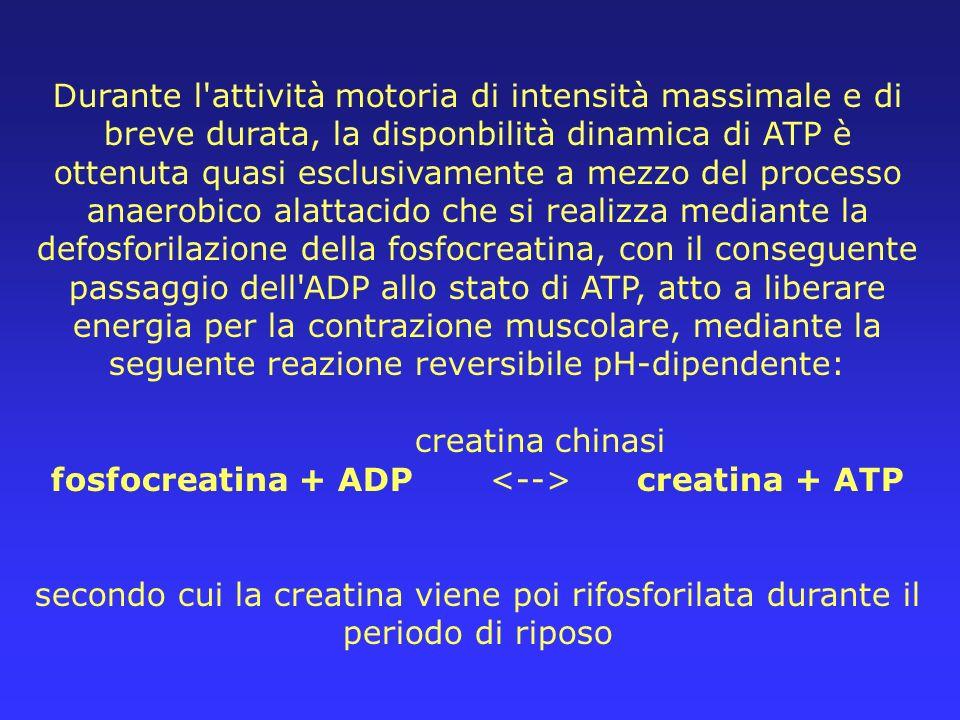 Durante l'attività motoria di intensità massimale e di breve durata, la disponbilità dinamica di ATP è ottenuta quasi esclusivamente a mezzo del proce