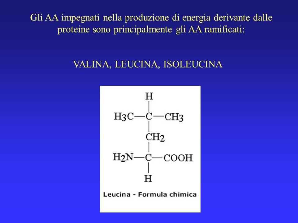 Gli AA impegnati nella produzione di energia derivante dalle proteine sono principalmente gli AA ramificati: VALINA, LEUCINA, ISOLEUCINA