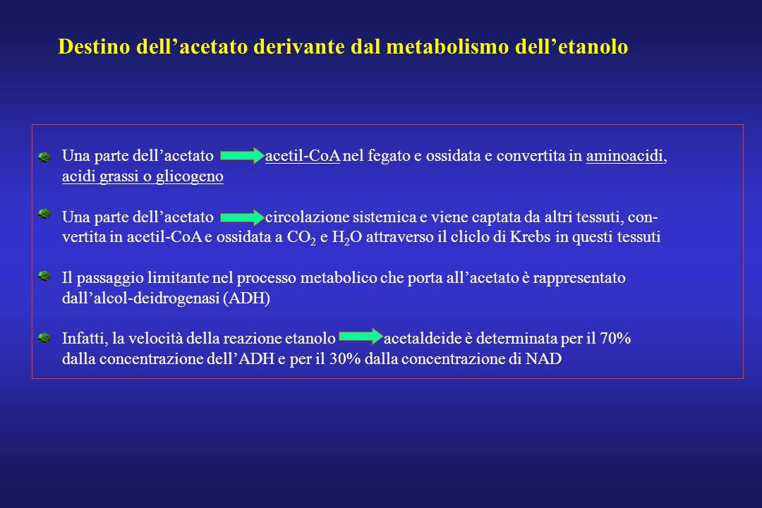 Destino dellacetato derivante dal metabolismo delletanolo Una parte dellacetato acetil-CoA nel fegato e ossidata e convertita in aminoacidi, acidi gra