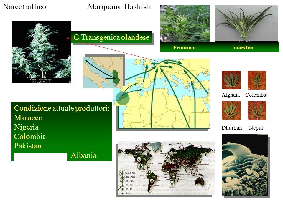 NarcotrafficoMarijuana, Hashish Condizione attuale produttori: Marocco Nigeria Colombia Pakistan Albania C.Transgenica olandese Afghan. Colombia Dhurb