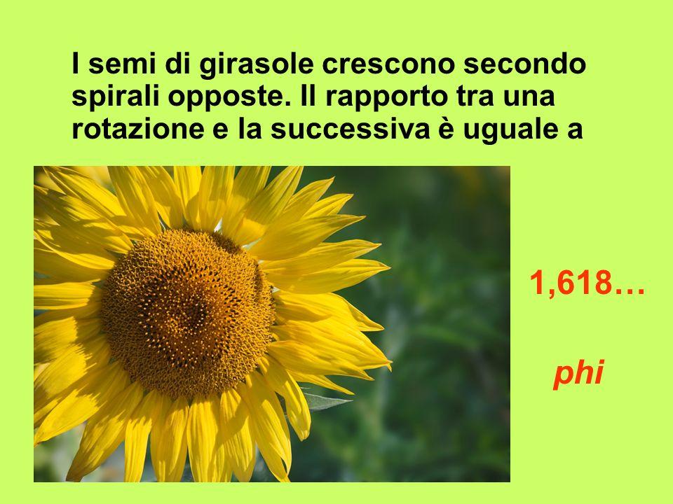 I semi di girasole crescono secondo spirali opposte. Il rapporto tra una rotazione e la successiva è uguale a 1,618… phi