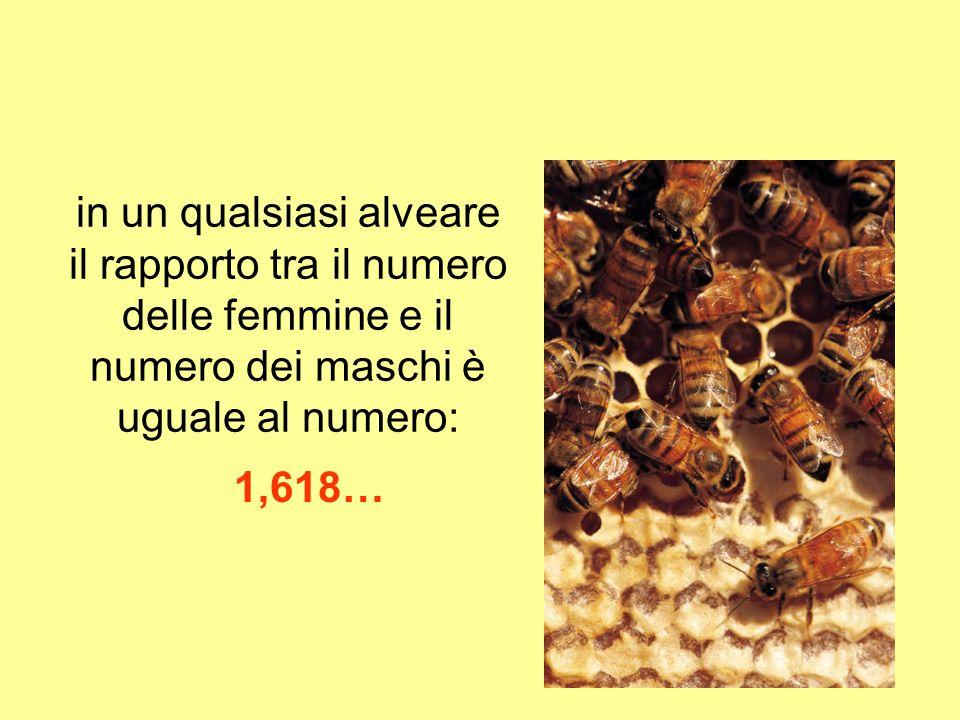 in un qualsiasi alveare il rapporto tra il numero delle femmine e il numero dei maschi è uguale al numero: 1,618…