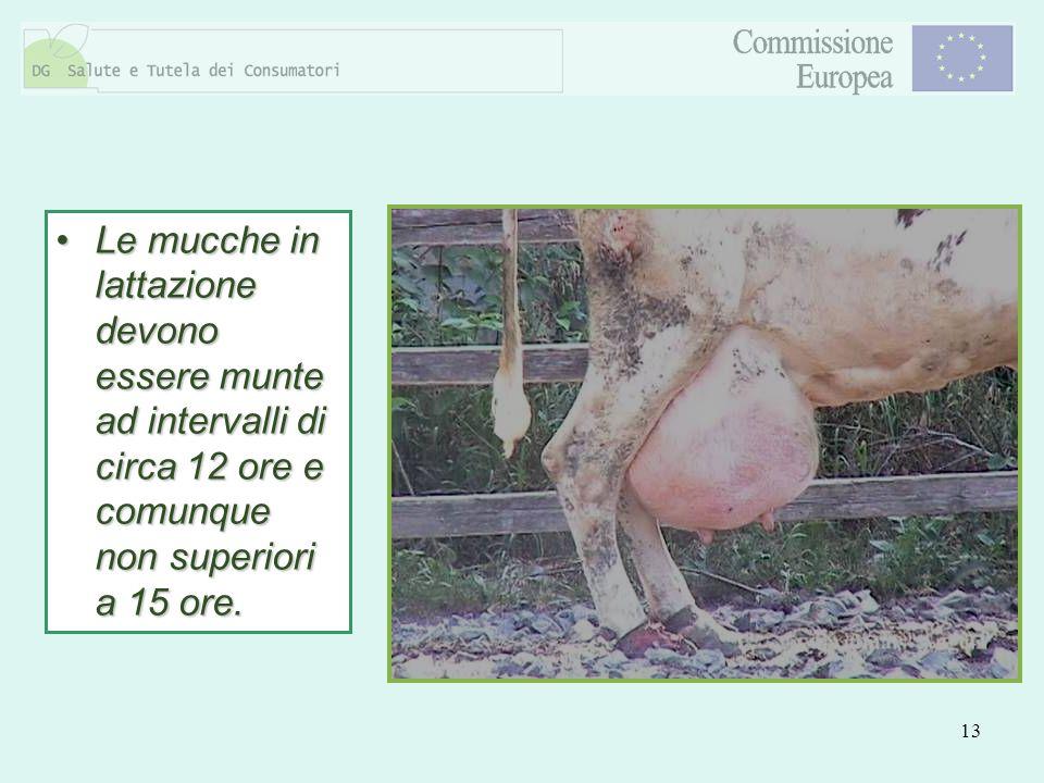 13 Le mucche in lattazione devono essere munte ad intervalli di circa 12 ore e comunque non superiori a 15 ore.Le mucche in lattazione devono essere m