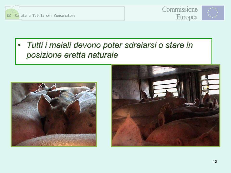 48 Tutti i maiali devono poter sdraiarsi o stare in posizione eretta naturaleTutti i maiali devono poter sdraiarsi o stare in posizione eretta natural