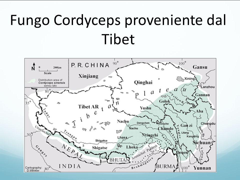 Fungo Cordyceps proveniente dal Tibet