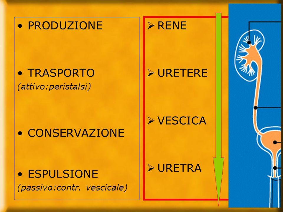 PRODUZIONE TRASPORTO (attivo:peristalsi) CONSERVAZIONE ESPULSIONE (passivo:contr. vescicale) RENE URETERE VESCICA URETRA